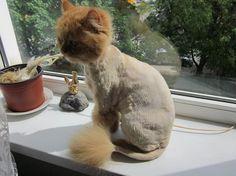 Cat enjoying its summer haircut - http://cutecatshq.com/cats/cat-enjoying-its-summer-haircut/