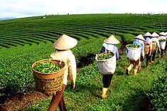 Tea workers working in the fields