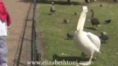 Pelican Eating