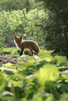 A fox cub in the English Woodland Garden, by Missouri Botanical Garden, Woodland Creatures, Cute Creatures, Woodland Animals, Beautiful Creatures, Animals Beautiful, Forest Animals, Animals And Pets, Baby Animals, Cute Animals