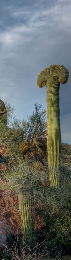 """This is a rare formation in saguaro cacti called """"cresting"""". I've been told it occurs 1 in 250,000 saguaros. I spotted this beauty while whizzing by on Highway 93 to Las Vegas one evening. It was a divided highway and I was in a rush (Vegas!) so I decided to photograph it on the return trip. Very glad I did as I was rewarded with some beautiful clouds in the sky and just enough sunlight."""