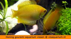 Honing gourami aquarium vissen Aquarium, Fish, Pets, Animals, Animais, Animales, Animaux, Pisces, Animal