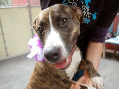 LADEE - ID#A1001481  I am an unaltered female, brown brindle and white Pit Bull Terrier mix.  The shelter staff think I am about 1 year and 1 month old.  I weigh 56 pounds.