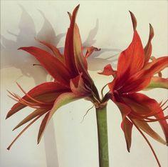 Merengue Amaryllis - Red Amaryllis