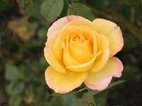 Roses - Rabbit-safe plants (grass/flowers) | kanin.org