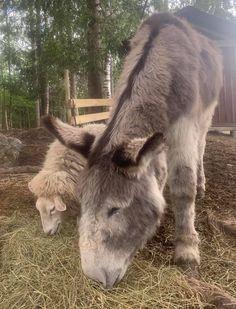 Farm Animals, Animals And Pets, Funny Animals, Cute Animals, Animal Funnies, Donkeys, Bellisima, Animals Beautiful, Sheep