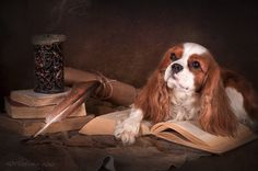 Reading and writing #dogs #cavalier #Cavalier King Charles Spaniel