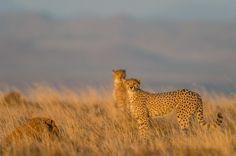 "Photo ""CheetahinGoldenSavanna"" by Bridgena_Barnard"