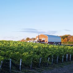 The vineyard at Norman Hardie Winery in Prince Edward County, Ontario. Norm grows about 25% of his own production, and sources the other 75% from dedicated growers in both Prince Edward County and Niagara. ©2009 Margaret Mulligan, all rights reserved