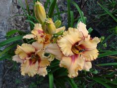 Photo of Daylily (Hemerocallis 'Woman at the Well') uploaded by tgarden711