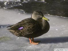 American Black Duck Identification, All About Birds, Cornell Lab of Ornithology Hunting Art, Duck Hunting, Duck Identification, Duck Mount, Duck Pictures, Physical Environment, Life List, Mallard, Wild Birds