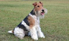 A very vividly coloured Wire Fox Terrier