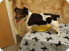 Upper Marlboro, MD - Parson Russell Terrier. Meet WILL BERRY a Dog for Adoption.