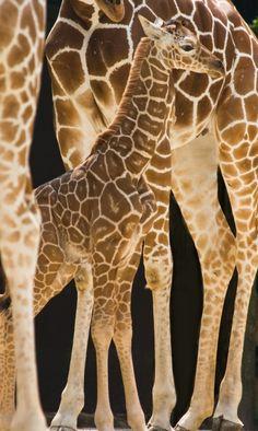 Kruger National Park, South Africa - Loved the Giraffes - my FAV African Animals, African Safari, Kruger National Park, National Parks, Baby Animals, Cute Animals, Baby Giraffes, Elephants, Okapi