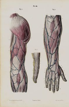 ANTIQUE ANATOMICAL PRINT from 1853. TECHNIQUE: Hand colored Lithography - Arms, hand, finguer, shoulder, veins, arteries, circulatory system    1853 Original antique fine quality color Lithograph (not a modern reprodution,161 years old)  Finely drawn, hand colored over lithograph at the time of publication, on good heavy paper, reverse side is blank.  From an rare antique medical atlas of HIRSCHFELD Ludovic, first edition and printed by Lemercier in Paris, France 1853    Please click on the…