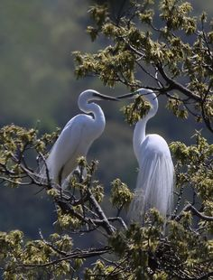 A pair of beautiful Great White  Egrets with their gorgeous pure white plumage, perched in the treetops!