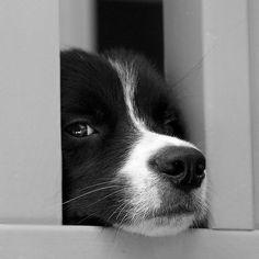 Border Collie cuteness
