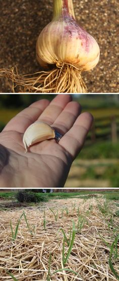 Grow, Cure And Store Your Own Garlic