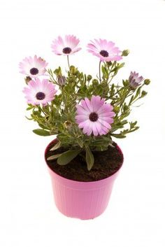 Stock photo available for sale at 123rf: Pot With African daisies isolated on white background. Stock Photo