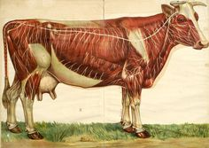 for the kitchen Cow anatomy.