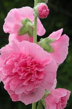 Bubblegum pink hollyhocks.