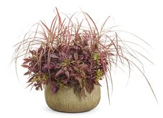 Graceful+Grasses®+'Fireworks'+-+Variegated+Red+Fountain+Grass+-+Pennisetum+setaceum+'Rubrum'