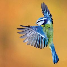 blue tit flying - Google Search