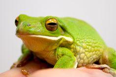 Frog - Tree - White-lipped White Lips, Amphibians, Animals, Animales, Animaux, Animais, Animal