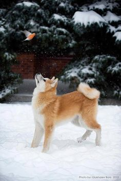 The difference between a shiba inu and a Akita inu are really big Japanese Akita, Japanese Dogs, Akita Dog, Beautiful Dogs, Animals Beautiful, Cute Animals, Cute Puppies, Cute Dogs, Dogs And Puppies