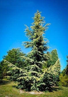 Golden Atlas Cedar Trees For Sale Online Cedar Trees, Evergreen Trees, Golden Yellow Color, Specimen Trees, Garden Soil, Gardening, Blue Spruce, Trees To Plant, Bonsai