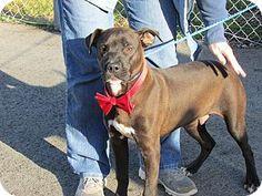 Salisbury, NC - Boxer/Labrador Retriever Mix. Meet Jolly, a dog for adoption. http://www.adoptapet.com/pet/12413397-salisbury-north-carolina-boxer-mix