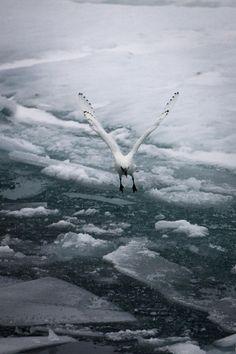 seagull frozen sea