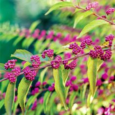 Beautyberry ~~ Showy clusters of purple fruit make beautyberry (Callicarpa dichotoma) attractive to both birds and flower arrangers. The arching wands of berries last a long time in the garden or a vase and provide nutrition and moisture for birds in winter. Beautyberry thrives in light shade but produces more berries in a sunny spot. It can grow 4 feet tall. Zones 6-8