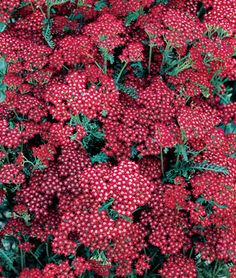 Summer Wine Achillea Seeds and Plants, Perennnial Flowers at Burpee.com
