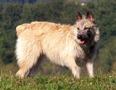 Le Chien Bouvier des Ardennes Puppy Ardennes Cattle Dog Puppies dogs