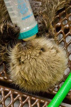 baby sea otter.