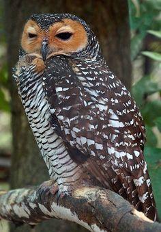 Spotted Wood Owl by casanova.frankenstein
