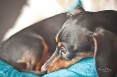 Pet Photography, dog, dachshund, puppy
