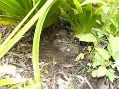 How amazing to find 3 baby hares huddled together under the bushes