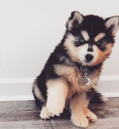 Daily Husky Thanks to: Use in your pictures to be. - Daily Husky Thanks to: Use in your pictures to be featured! Cute Baby Animals, Animals And Pets, Funny Animals, Jungle Animals, Animals Images, Funny Dogs, Cute Dogs And Puppies, Baby Dogs, Doggies