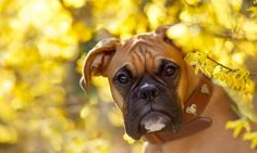 Boxer dog, curious animal, muzzle, yellow leaves wallpaper