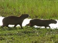 Kapibaras o Chiguires en los llanos de venezuela.