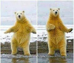La danse de l'ours blanc