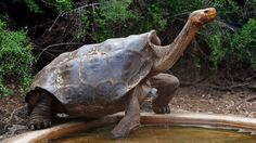 Diego the tortoise is helping save his species by having lots of sex
