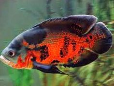 The Oscar Most Popular Freshwater Fish - Freshwater Fish