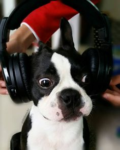 9 months old  You call this music bro??  #bostonterrierlove  #bostonterrier_feature #bostonterriersoverload #mydogiscutest #igcutest_animals #bostonsofinstagram #squishyfacecrew #lacyandpaws #littlerocky #rocky #shortsnouts #dogsandpals #btcult #bostonterrierpuppy #bostonterrier #pawpack #bostonterriers #bostonpuppies #bostonterrierlove #bostonterrierpuppy #bostonterriersofinstagram #bostonterrierslove #bostonterriersforever #bostonterriercult #dog_features #excellent_puppies…