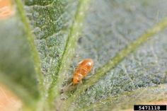 Pirate Bug Habitats: How To Identify Minute Pirate Bug Eggs And Nymphs - Pirate bugs in gardens are a gift, since the tiny insects eat bugs you'd rather not have around. This article provides some tips about creating pirate bug habitats to attract these garden helpers. Click here to learn more.