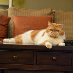 Exotic shorthair Garfield sitting on the table!