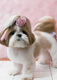 ロマンティック・シフォン --愛犬の友 ヘアスタイルカタログ--