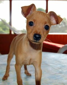Operation Paws for Homes | Tatertot | Miniature Pinscher #puppy #dogs